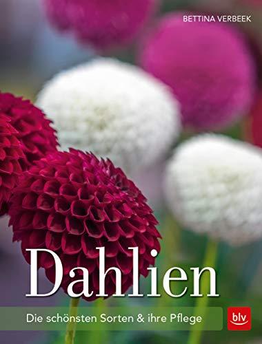 Dahlien: Die schönsten Sorten und ihre Pflege