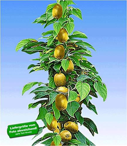 BALDUR Garten Säulen-Kiwi 'Issai', 1 Pflanze selbstfruchtend Stachelbeer-Kiwi winterharte Obstpflanze