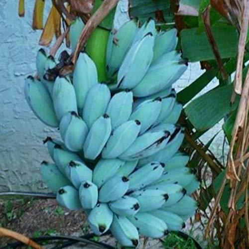 Tomasa Samenhaus- 100 Stück Winterharte Banane Baum Rarität Blau Bananenpflanze Obst Saatgut winterhart mehrjährig Obstpflanze für Garten
