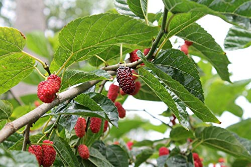 Rote Maulbeere Morus rubra Pflanze 15-20cm Maulbeerbaum Obstbaum Obstpflanze