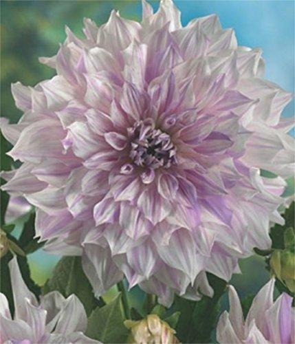 Schmuck Dahlie großblumig Mom's Special Knolle Blumenzwiebeln (1)