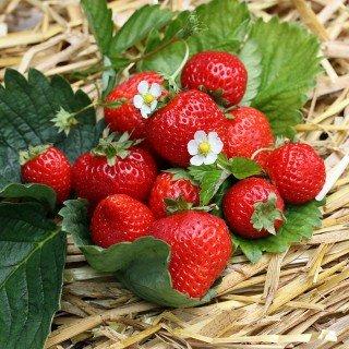 48 x Erdbeeren 'Senga ® Sengana' ® - Fragaria 'Senga ® Sengana' ®