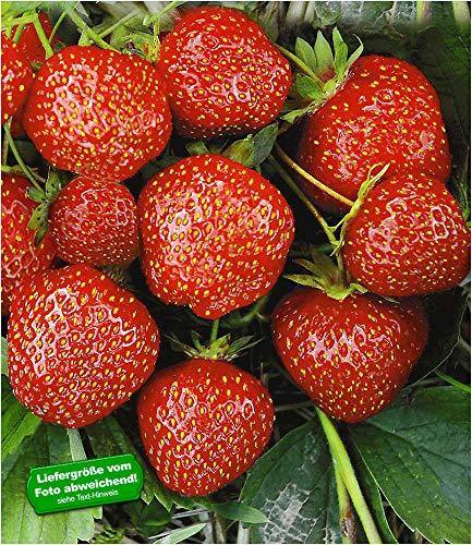 BALDUR-Garten Erdbeere Hummi®´s 'Sengana Selektion', 6 Pflanzen Fragaria
